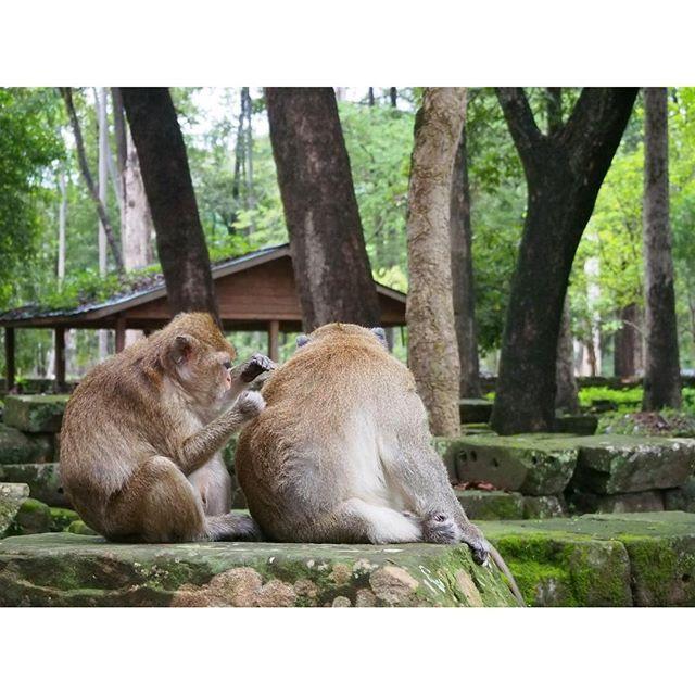 【koooda.s】さんのInstagramをピンしています。 《カンボジアには猿がたくさんいてびっくり。 周りを囲まれたときは「死」を覚悟した・・・ #旅行 #猿 #カンボジア #森 #みどり #動物 #アンコールトム #海外 #trip #monkey #cambodia #forest #tree #green #animal #angkorthom》