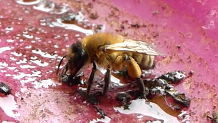Honey Bee Drinking Water and Climbing