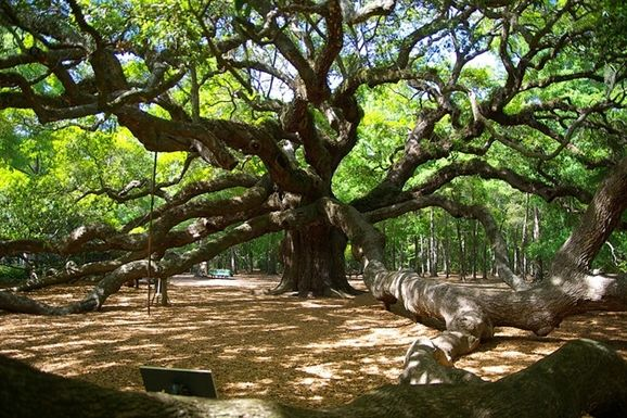 Reportedly 1,500 years old, the sprawling Angel Oak is open daily and free of charge.  Charleston, SC
