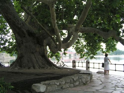 Az Év fája 2014 Még mindig versenyben van a tatai nagy platán az Év Fája címért! 2010 óta több száz fát neveztek be az Év Fája versenybe különböző civil közösségek, önkormányzatok és magánszemélyek. A versenybe a fákat egy történet kíséretében kell nevezni, mely kifejezi, hogy az miért fontos az őt nevező közösségnek. Nem számít a fa kora és mérete, előny azonban, ha őshonos a fa, közterületen áll vagy egy környezetvédelmi ügyhöz kapcsolódik.