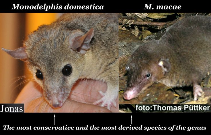 Comparision on Monodelphis domestica and Monodelphis macae, the most conservative and the most derived species of this genus.
