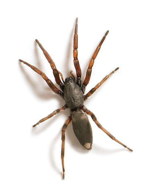 White-tailed spider
