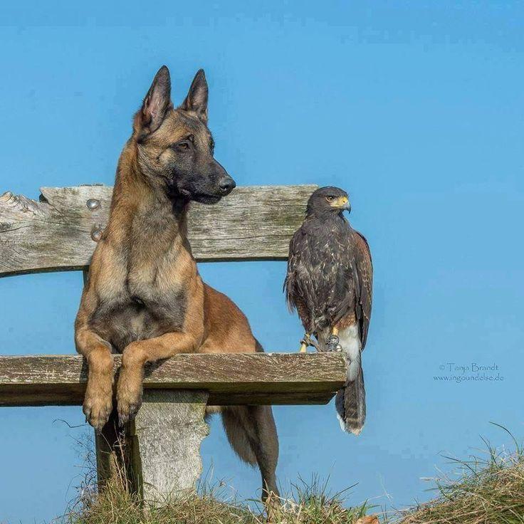 Chien loup et oiseau - J'espère que c'est pas un trucage - A pair of odd but true companions.