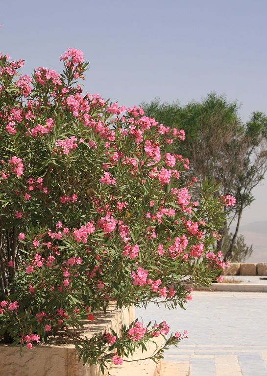 Oleanders on mount Nebo,Jordan