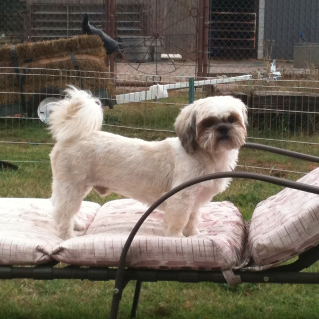 shaved shih tzu sparky shi tzu that we rescued in may had to shave him 194
