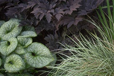 Cimicifuga simplex is beautifully paired with Brunnera macrophylla 'Jack Frost' and Carex 'Evergold,