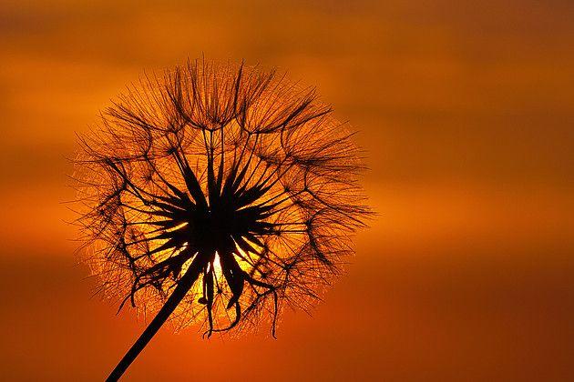 Zonsondergang Fotograaf: SamDijkstra Hier heb ik net zolang gewacht tot de zon achter deze pluizige Paardenbloem kwam te staan, de avond ervoor zag ik wat voor sterkte licht hij nog gaf om die tijd, Dus het moment toen om van het licht te genieten en deze foto te kunnen maken plat op mijn buik Gr Sam