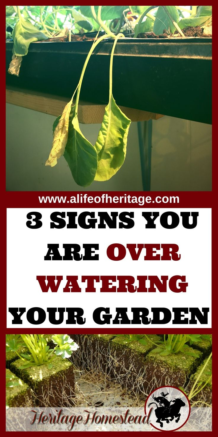 Garden watering is the most important aspect of your productive year of produce. Learn how to know when to water your garden, the signs of over watering and 6 tips for successful watering.