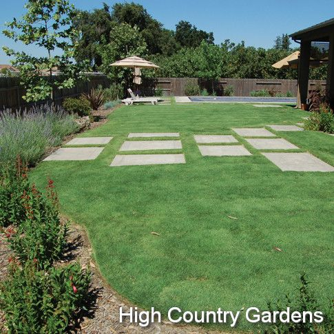 Buchloe dactyloides uc verde buffalo grass low water full for Hardy grasses for the garden