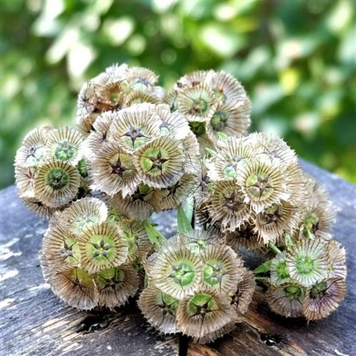 Starflower Seedssometimes Known As Drumstick Flower Starflower Features Pale Blue Flowers That Turn Into Bronz In 2020 Flower Seeds Tiny White Flowers Dried Bouquet
