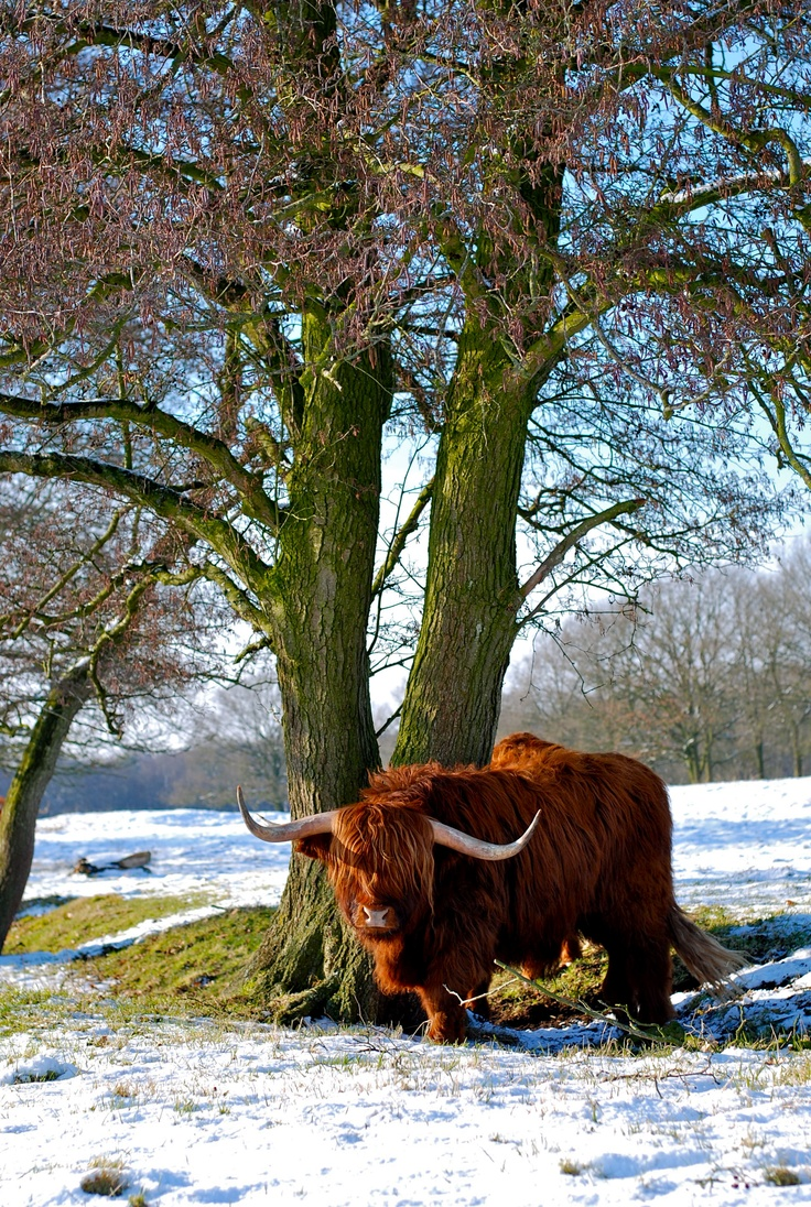 436 best scottish highland cows images on pinterest scottish