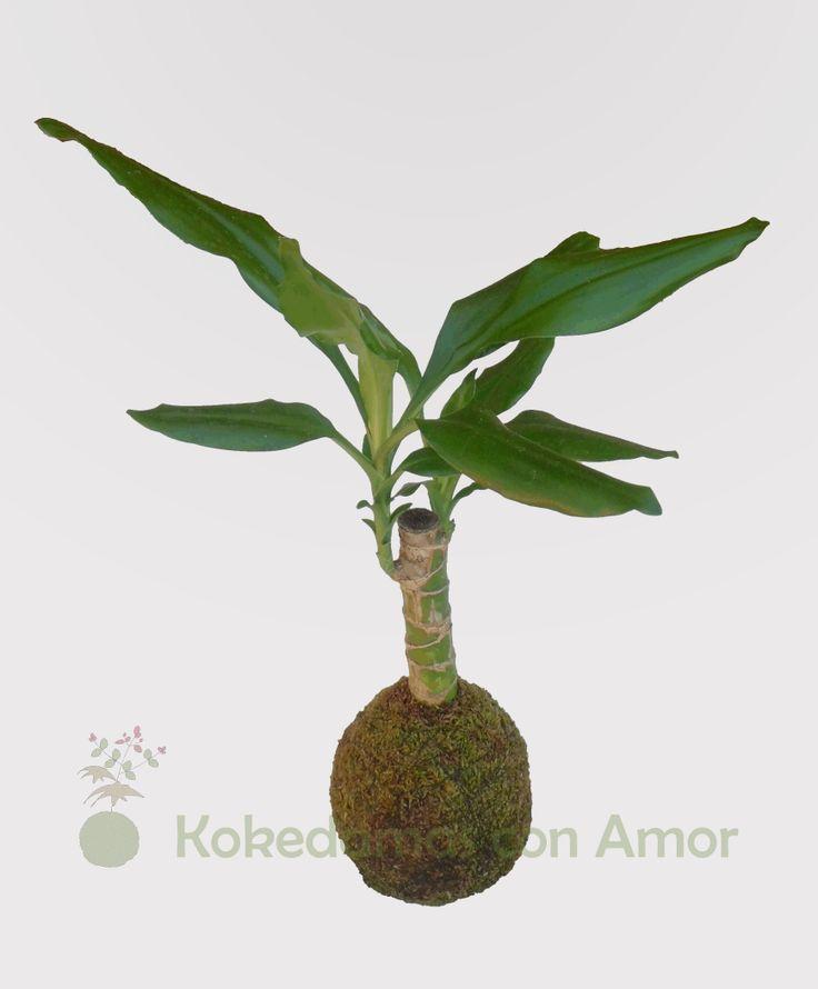 Kokedama Tronco del Brasil (Dracaena fragans)