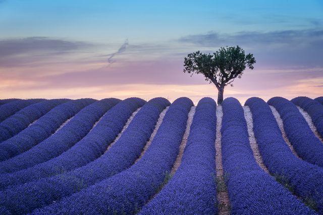 プロヴァンス地方のラベンダー畑(フランス)