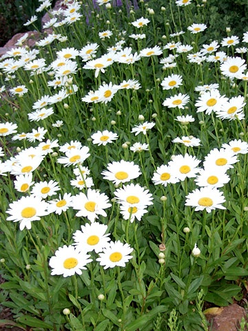 Becky Daisy -  Zones: 4-9 Plant it with: Foxglove, purple coneflower, or 'Moonbeam' coreopsis