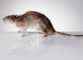 Nada peor que una plaga de ratas o ratones en tu hogar. Y es que estos animalitos son tan asquerosos que ni tus mascotas se salvan de las bacterias...