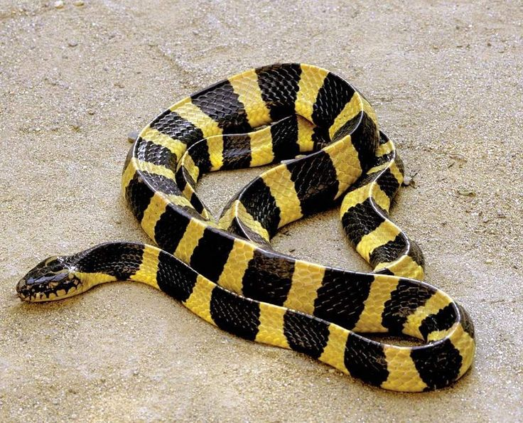 "47 Likes, 2 Comments - Ꮗ Ꭷ Ꮢ Ꮭ Ꮄ   ᎧᎦ   Ꮥ Ꮑ Ꮧ Ꮶ Ꮛ Ꮥ (@world_of_snakes_) on Instagram: ""Banded Krait ➖➖➖➖➖➖➖➖➖➖…"""