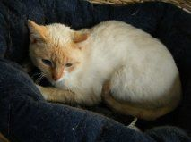 Harry is an adoptable Siamese Cat in Great Mills, MD. I AM HARRY BLUE EYES! I am a Flame Point Siamese as you can see. I was rescued from a feral colony. When I was first trapped, I was ear tipped and...Blue Eye, Siamese Cat
