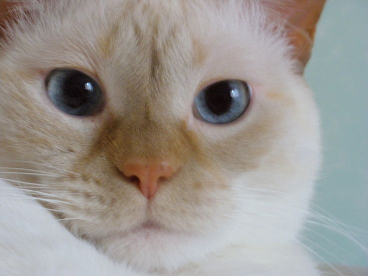 My round face flame point female Siamese Ming. (6 years