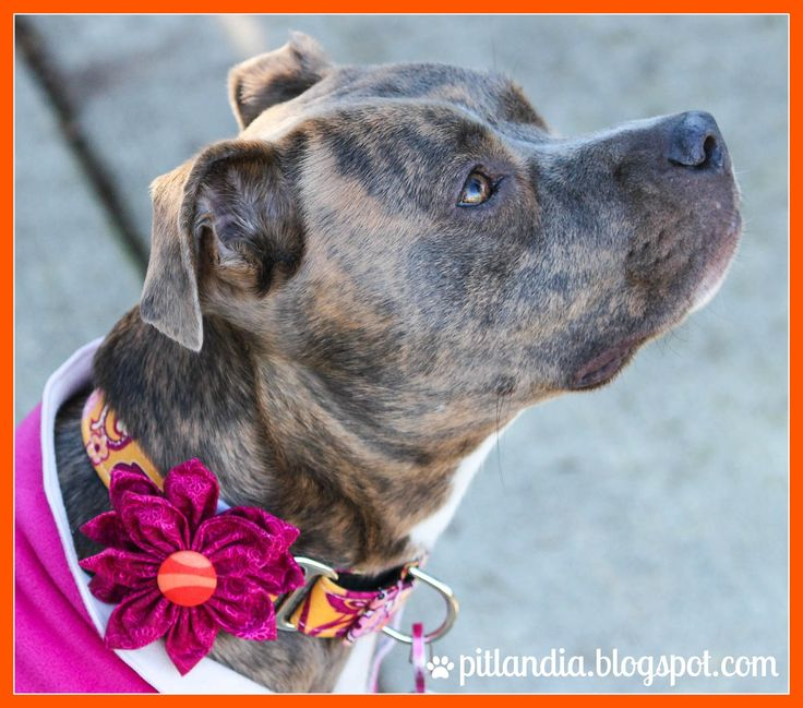 Pitlandia: Dog Collar Fabric Flower Tutorial