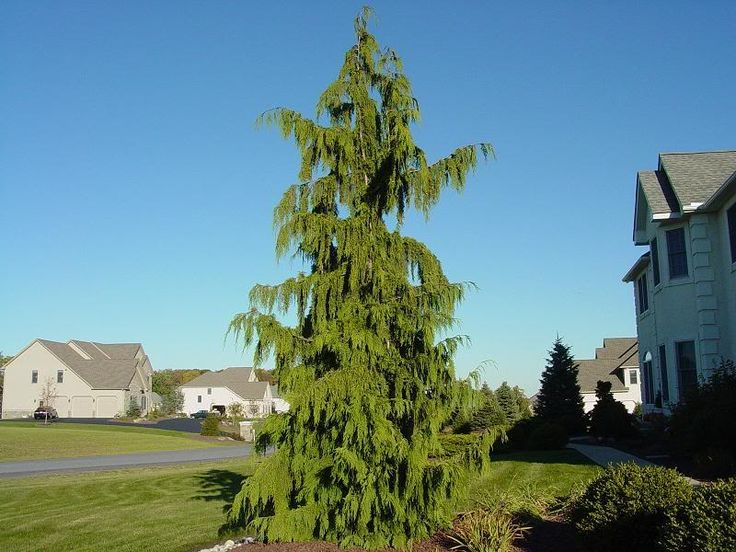 weeping alaskan Juniper - Google Search for the front yard