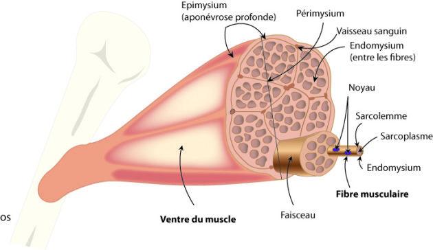 Physiologie de l'exercice - Vers une compréhension des limites de la performance motrice. - Schémas et prise de notes