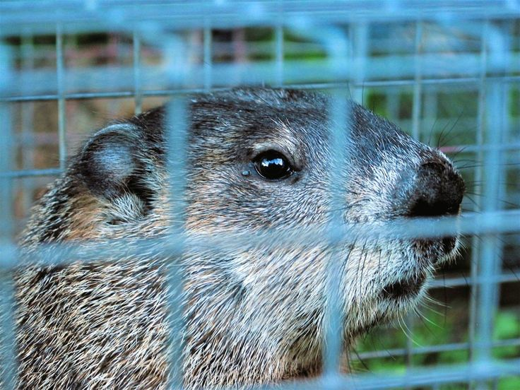 12 Effective Ways to Get Rid of Groundhogs for Good in