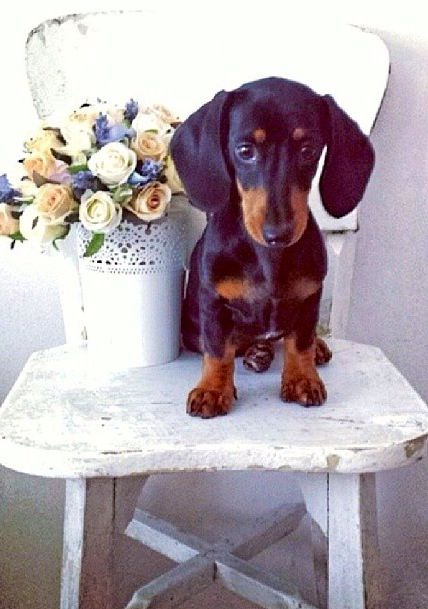 ❤️Not happy sharing the limelight with a plant. doxie