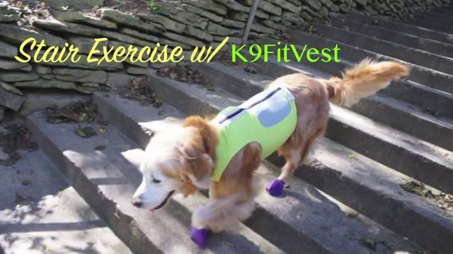 Stair Exercise with K9FitVest. Sugar the Golden Retriever stair exercise with K9FitVest by DogTread