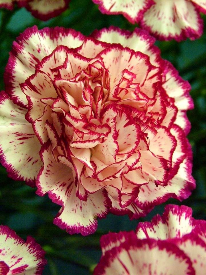 Carnation via Lovely Roses Facebook page