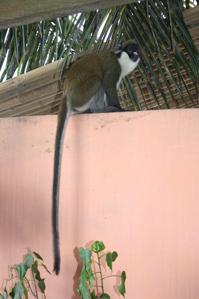 Africa ▪ Miss Monkey at Busua Inn | Ghana
