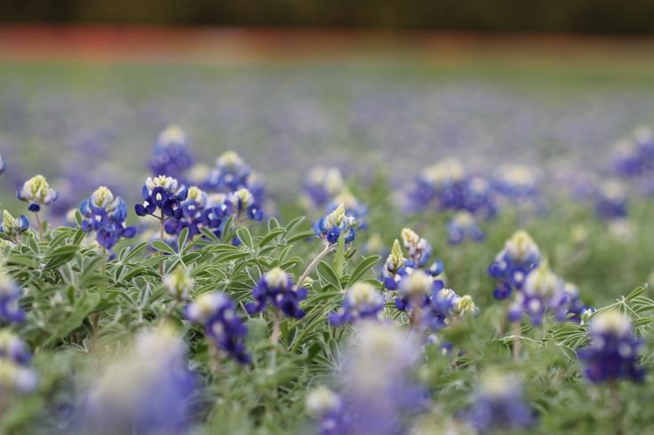 13 best texas bluebonnets and spring flowers images on pinterest nothing nicer than me a camera and no one around telling me what to do texas bluebonnetswhat to dospring flowerscamerascameraspring colors mightylinksfo