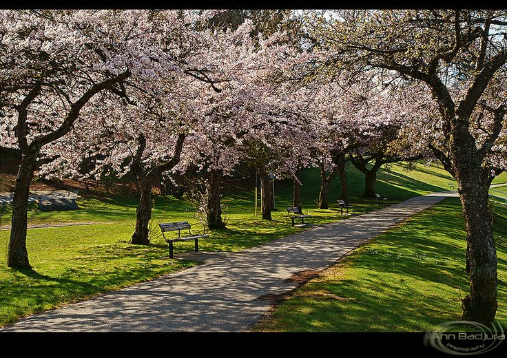 Spring is here!  Beautiful cherry blossoms at Burnaby Mountain Park near Vancouver, BC, Canada...taken by me / ©ANN BADJURA! :)