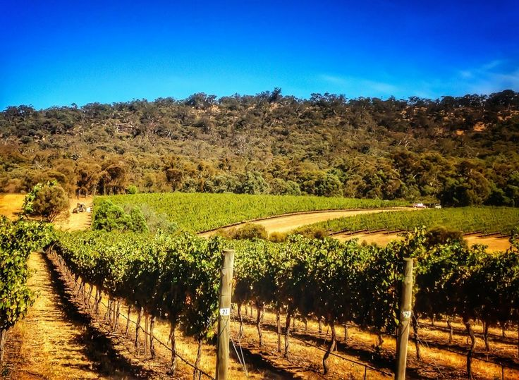 Mitchell Harrs grapes at Moonambel, ready for harvest.