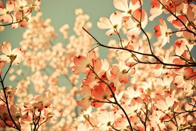 """""""Pink"""" Dogwoods against a blue sky by Joy StClair #society6 24x16 stretched canvas $95"""