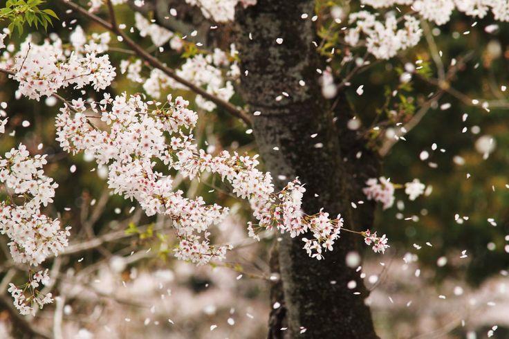 桜吹雪の画像。散りゆく桜の姿は、まるでアート。