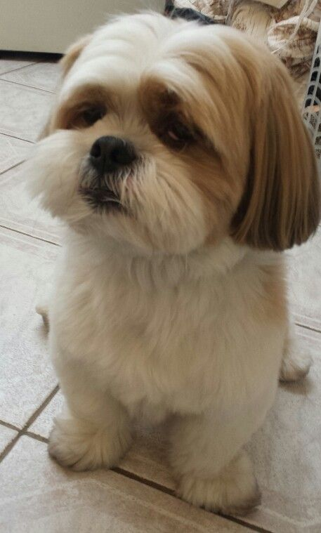 Lhasa Apso: Hairstyles for a dog named Brock