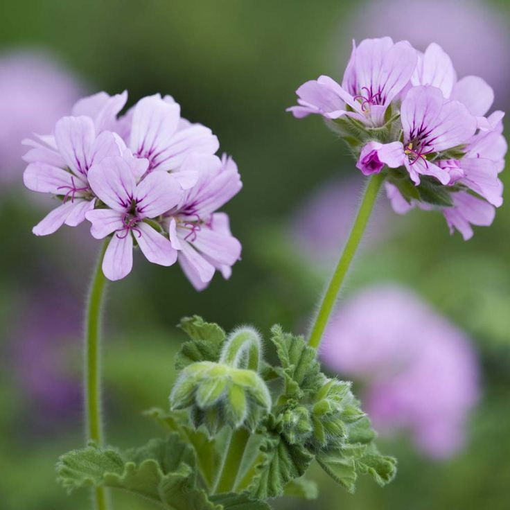 "Geranium Attar of Roses - Scented Leaf Geraniums  : Attar of Roses is an old variety of scented geranium from 1900. A vigorous grower with rose scented leaves and pink flowers. Always popular. It's amazing to rub a leaf and to enjoy wonderful aromas - Mother Nature's pot pourri!  Height: 30cm (12""). Spread: 20cm (8""). (EG Spring 2013)"