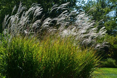 Flame grass in bloom ornamental grasses pinterest for Ornamental grasses that bloom