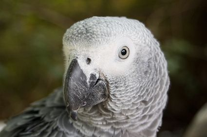 Deadly Foods for an African Grey Parrot