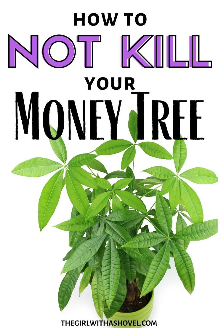 Money Tree Plant Care | The Girl with a Shovel in 2020 ...