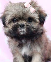 Micro Tiny Teacup Shih Tzu | Teacup Puppies & Puppies For Sale at TeaCups