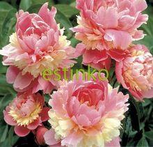 10 единиц / серия сорбет Heritage Rare Двойной Робусто Красочные цветы пиона Семена растений Дерево Бонсай Garden Home (Китай (материк))
