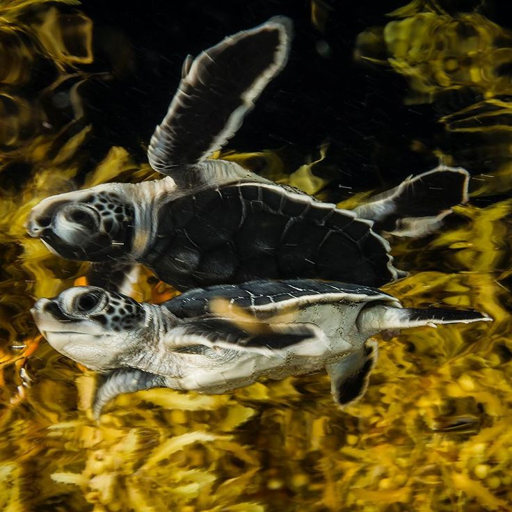 Photo by @DavidDoubilet. A sea turtle hatchling hides from predators  in a dense floating canopy of sargassum algae near Cancun Mexico. Sargassum plays a critical role in sea turtle hatchling survival. Sea turtles hatch and swiftly head for the open sea running a gauntlet of hungry land and then sea creatures until the lucky ones find cover and protection in the sargassum weed. These floating forests  maybe clump, table or football field sized and some patches stretch for miles like a vast…
