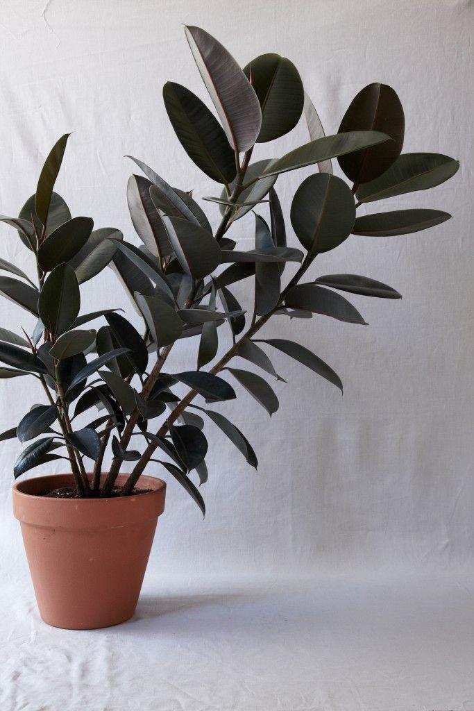 1000 Ideas About Ficus Elastica On Pinterest Ficus