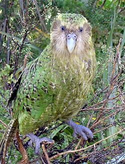 The kakapo (Māori: kākāpō or night parrot), Strigops habroptilus (Gray, 1845), also called owl parrot, is a species of large, flightless, nocturnal, ground-dwelling parrot of the super-family Strigopoidea endemic to New Zealand.[2]  It has finely blotched yellow-green plumage, a distinct facial disc of sensory, vibrissa-like feathers, a large grey beak, short legs, large feet, and wings and a tail of relatively short length. A combination of traits make it unique among its kind; it is the…