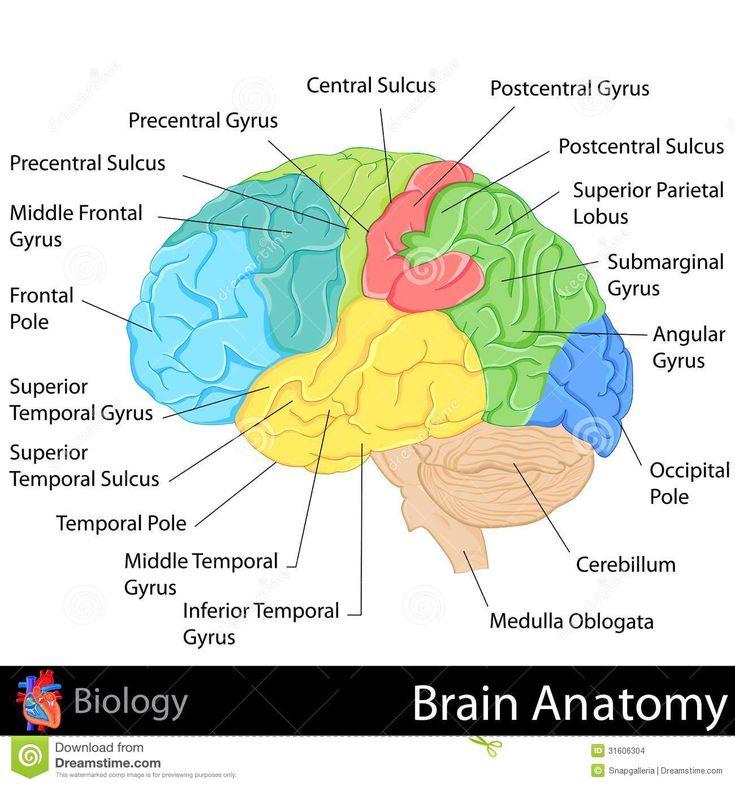 brain mapping diagram best 25+ brain diagram ideas on pinterest | diagram of the ... brain labeling diagram