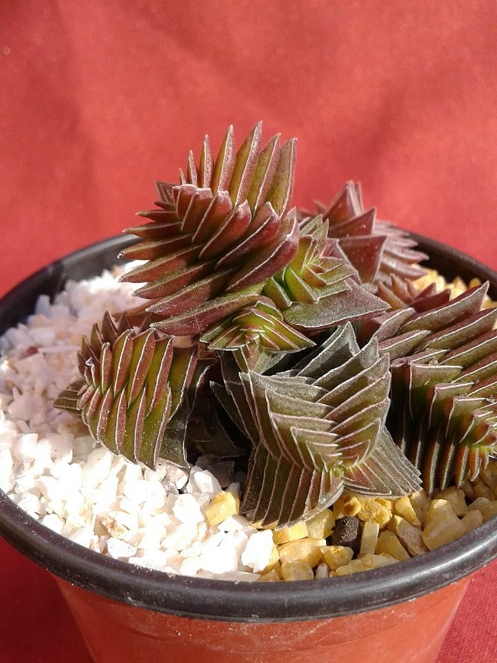Crassula Capitella var Thirsiflora