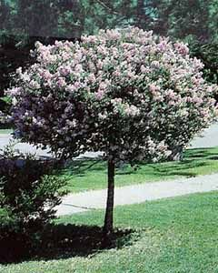Dwarf korean lilac---such a cute little tree for the porch area