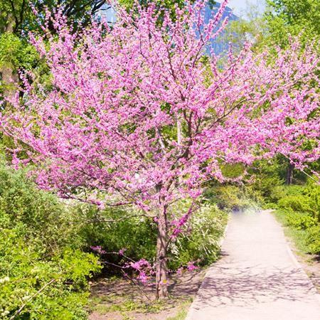 shrub oak asian single men Asian jasmine trachelospermum  tropical looking small tree, single or multi-trunked,  shrub oak quercus turbinella small, holly-like,.