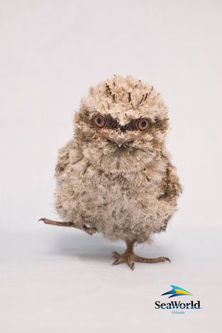 tawny frogmouth chick - this one was born at SeaWorld, Orlando